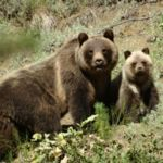 grizzly bear mum with 2 cups