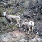 mountain goates