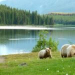grizzly sow 2 cubs
